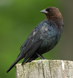 Brown headed cowbird male
