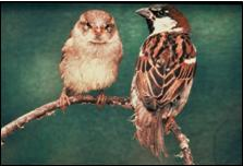 Female and male house sparrows