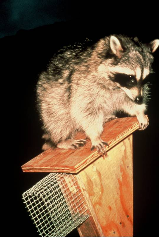 Raccoons can climb up to nest boxes