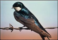 Male tree swallow