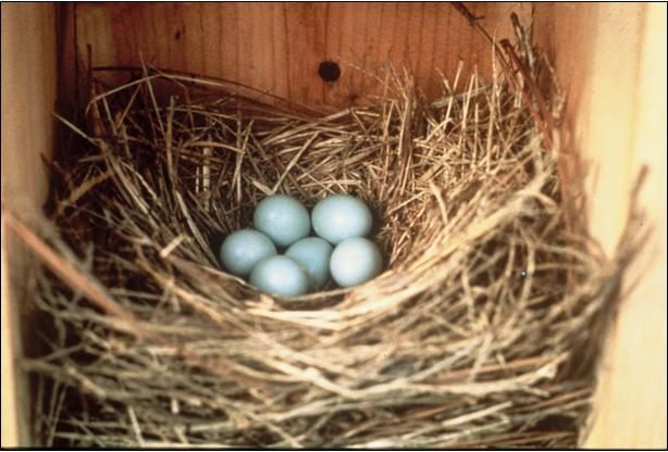 Bluebird nests are made entirely of grass.