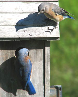 Male & Female bluebirds checking out a nest box.