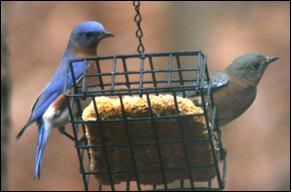 Bluebirds feeding on suet