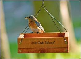 Tray feeders are good for bluebirds
