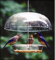 Male bluebird feeding fledglings