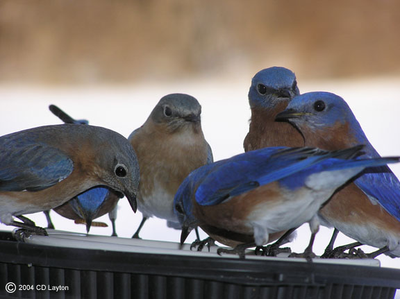 Bluebird flock feeding