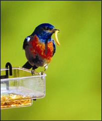 Male bluebird with mealworm