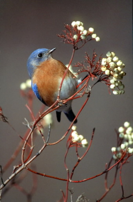 Bluebird in Cottoneaster bush