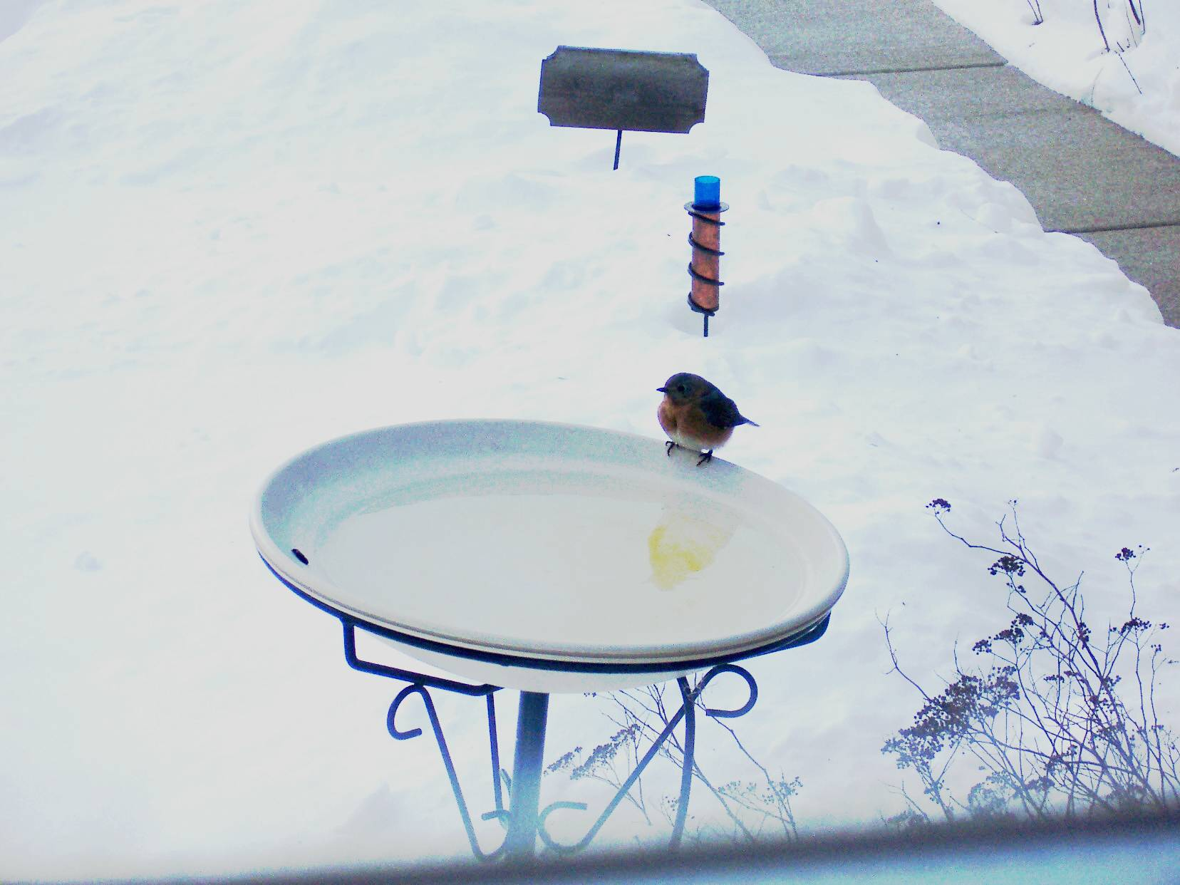 Bluebird in a heated bath
