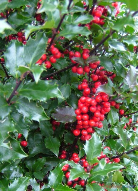 Bluebirds like holly berries