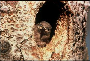 Bluebird in a natural tree cavity