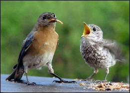 Parent bluebird feeding fledgling